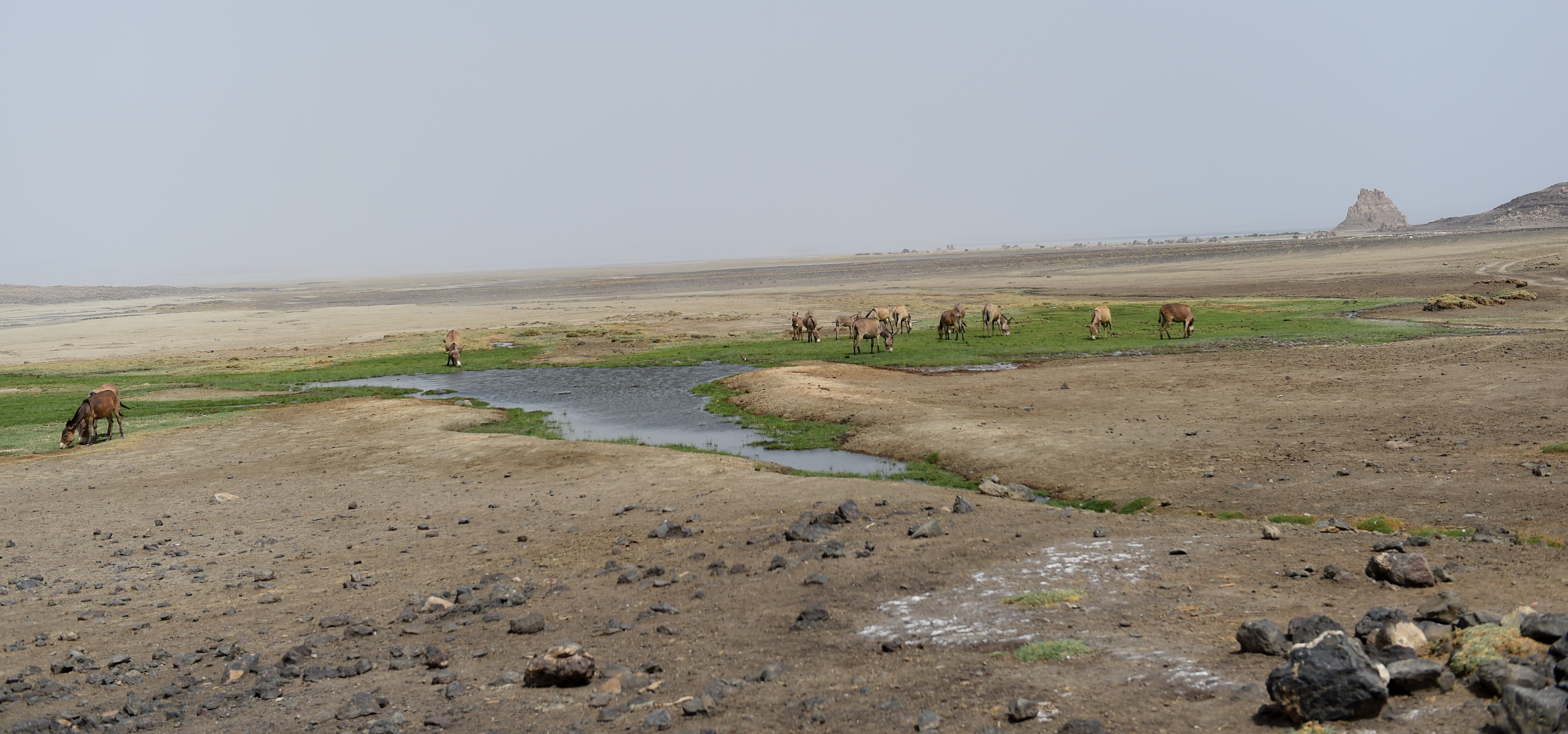 Donkeys eat grass at a creek near Lac Abbé, Djibouti, May 20, 2015. It is the only water source found for miles within the desolate area. Members of U.S. Army 404th Civil Affairs Battalion, assigned to Combined Joint Task Force- Horn of Africa, traveled to Lac Abbé to learn about the arid lake's utility to the nearby village since the reoccurring droughts. (U.S. Air Force photo by Senior Airman Nesha Humes)