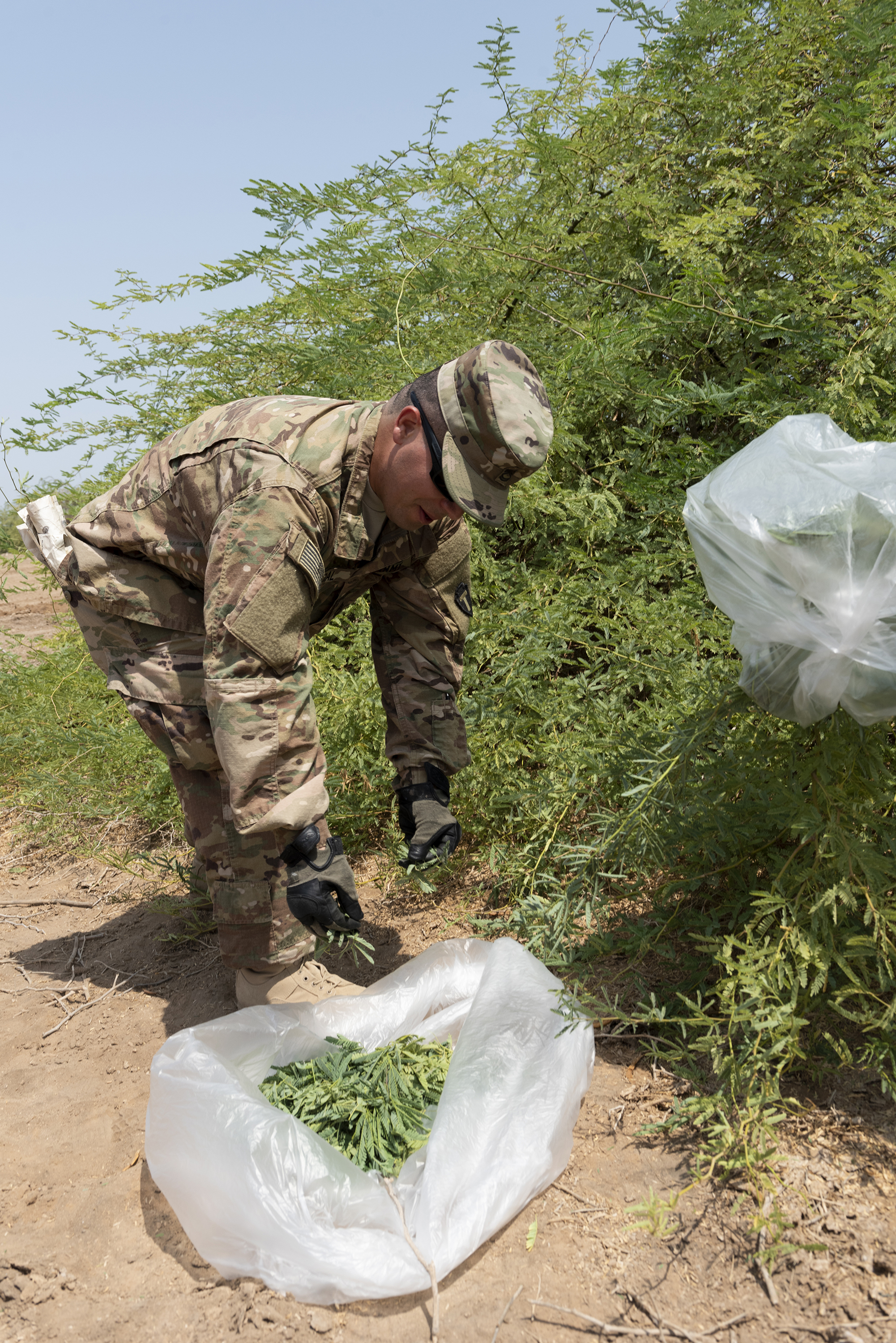 U.S. Army Sergeant 1st Class Amando Vidal, a field artillery firefinder radar operator with 3rd Battalion, 133rd Field Artillery Regiment, Texas National Guard, collects leaves from a Sickle Bush during survival skills training on Camp Lemonnier, Djibouti, Oct. 13, 2018. Vidal placed the leaves in a plastic bag and exposed the bag to the sun, which allowed condensation to gather and enabled him to create an alternative water source in an austere environment. (U.S. Air National Guard photo by Master Sgt. Sarah Mattison)